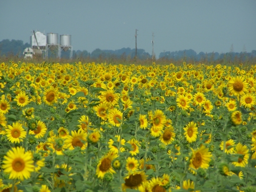 a-sunflower-field