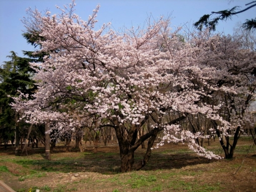 sakura-tree-in-bloom